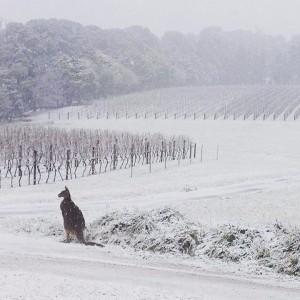 カンガルーと雪