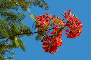 Royal Poinciana Tree Delonix Regia1